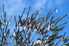 Winterkieferzweige Stockfotografie
