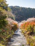 Winterkirschblüte nannte Shikisakura mit Herbstlaub Stockfotos