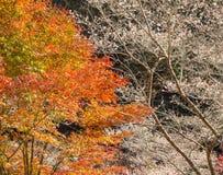 Winterkirschblüte nannte Shikisakura mit Herbstlaub Lizenzfreies Stockbild