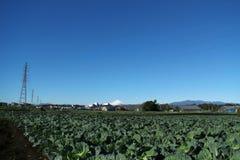 Winterkohlfeld und Mt Fuji-Hintergrund Stockfoto