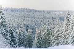 Winterkoniferenwald Stockfotografie