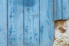Winterkoninkje die door blauwe staldeur neerstrijken Royalty-vrije Stock Fotografie