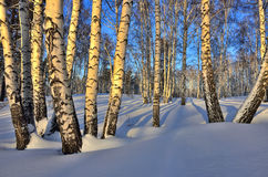 Winterlandschaft - Birkenwald im goldenen Licht des Sonnenuntergangs Lizenzfreies Stockbild