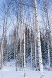 Winterlandschaft mit Birkenbäumen Stockfotografie