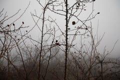Winterlandschaft mit gefrorenen Niederlassungen des Hundes Rosenbusch mit roten gefrorenen Früchten Nette Ansicht lizenzfreies stockbild