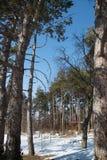 Winterlandschaft mit hölzernem Gazebo unter Kiefern im Hintergrund Lizenzfreie Stockfotografie