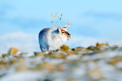 Winterlandschaft mit Ren Wildes Ren, Rangifer tarandus, mit den enormen Geweihen im Schnee, Svalbard, Norwegen Svalbard-Rotwild a Stockfoto