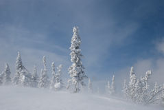 Snowy-Tannenbäume Lizenzfreie Stockfotos