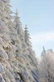 Winterlandschaft mit Schneefichten Stockfotografie