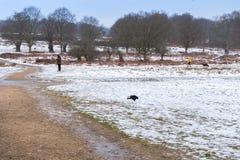 Winterlandschaft in Richmond Park Krähe auf den gehenden Hunden des Weges und der Leute stockbild