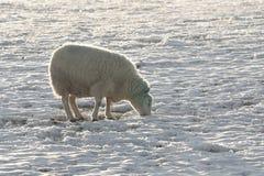 Winterlandschaft und -schafe Stockfotos