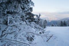 Winterlandschaftsmajestätische Tannen bedeckt mit Schnee Stockfoto