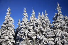 Winterly forest Stock Photo