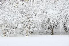 Winterly shrubbery Stock Photography