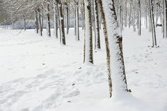 Winterly trees Royalty Free Stock Image