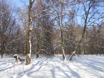 Wintermorgen im alten Wald Stockfotografie