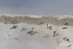 Wintermuster mit Fliegenenten stockfotos