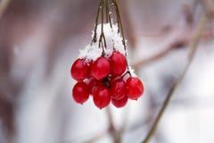 Winterniederlassung mit Viburnum im Schnee, eingefroren, Lizenzfreie Stockfotos