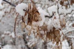 Winterniederlassung von Bäumen mit den trockenen eisigen Braunblättern bedeckt mit weißem Schnee Stockfotos