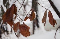 Winterniederlassung von Bäumen mit den trockenen eisigen Braunblättern bedeckt mit weißem Schnee Lizenzfreies Stockfoto