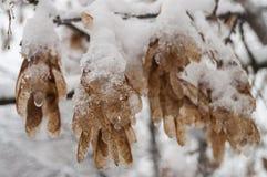 Winterniederlassung von Bäumen mit den trockenen eisigen Braunblättern bedeckt mit weißem Schnee Lizenzfreies Stockbild