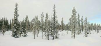 Winterpanorama des Schnees bedeckte Tannenbäume Stockfotografie