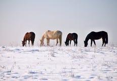 Winterpferde Lizenzfreie Stockfotos
