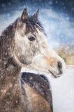 Winterporträt des grauen arabischen Pferds auf Schneefall Stockfotografie