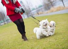 Winterporträt von gehenden Hunden der schwangeren Frau Lizenzfreie Stockfotos