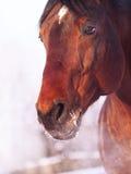 Winterportrait des Schachtpferds Stockbilder
