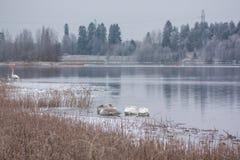 Winterruhelandschaft auf einem Fluss mit, der den Höckerschwänen schlafen auf Eis ist Finnland, Fluss Kymijoki lizenzfreies stockbild