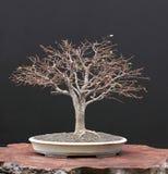 winters bonsai zelkova zdjęcia royalty free