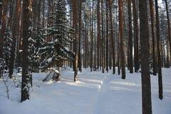 Winters bos in de lichten van avondzon Stock Foto