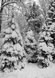 Winters Chill 13. Winters season of cold chilling snow covered pines in the Michigan Forest.  Beautiful untouched snow laced pines.  You can feel the bitter cold Royalty Free Stock Images