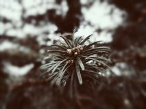 Pine trees. Winter is ruthless and cold, yet the pine stands tall and green stock photo