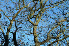 Winters Sky & Trees - Scotland. Tree branches against winter blue sky, Scotland Royalty Free Stock Photo