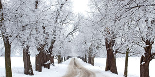 Winters tree alley Royalty Free Stock Images