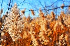Winterscape della canna selvatica Fotografia Stock Libera da Diritti
