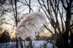 Winterschilfe Lizenzfreies Stockfoto