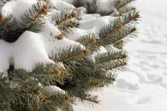 Winterschnee auf Kiefernniederlassungen Stockfotos