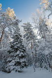Winterschnee bedeckte Bäume gegen den blauen Himmel Lizenzfreies Stockfoto