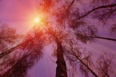 Winterschneebäume mit heller gelber Sonne mit langen sonnigen Strahlen Lizenzfreie Stockfotografie