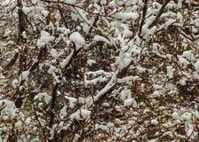 Winterschneeszene des Schnees bedeckte Baum mit kleinen roten Beeren Stockfotografie