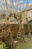 Winterschnitt der lebenden Weidenstruktur Lizenzfreie Stockbilder