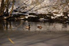 Winterse eenden en landschappen - Frankrijk Stock Afbeelding