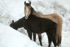 Winterse Paarden Royalty-vrije Stock Foto