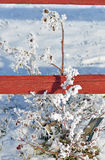 Winterse Rose Bush Stock Foto's