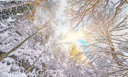 Wintersky through forest. Sky through the forest during winter Stock Photos