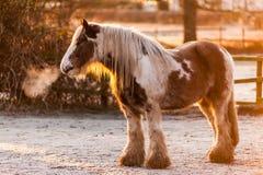 Wintersonne auf einem skewbald schweren Pferd Stockfotos