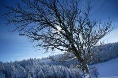 Wintersonne hinter brenches stockbilder